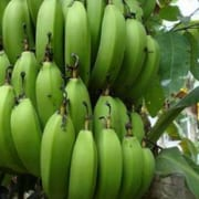 GRADE-A-FRESH-BANANA-BEST-FOR-IMPORTERS
